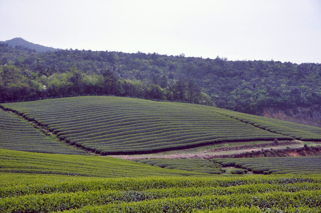 壁纸 成片种植 风景 植物 种植基地 桌面 1080_717