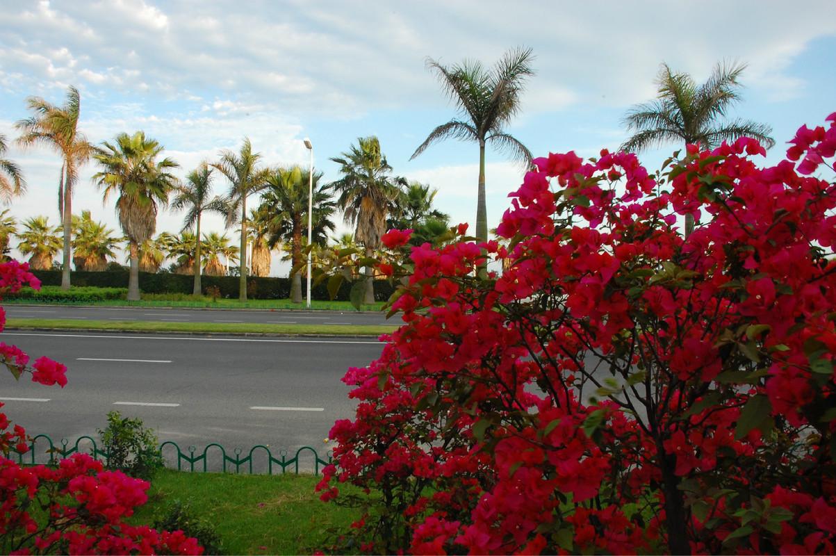 环岛路边盛开的红色三角梅,是厦门的市花,很多地方都能看到图片