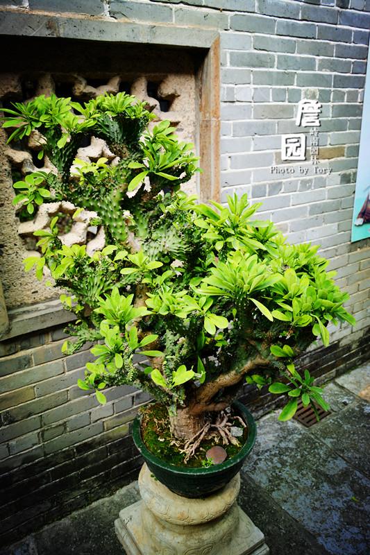 类似仙人掌的盘景植物.图片