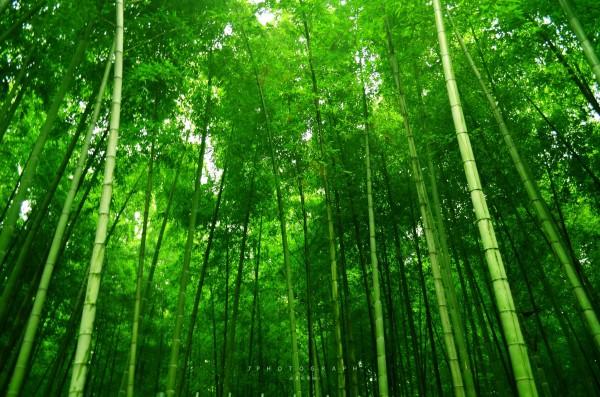 好比一片竹林图片