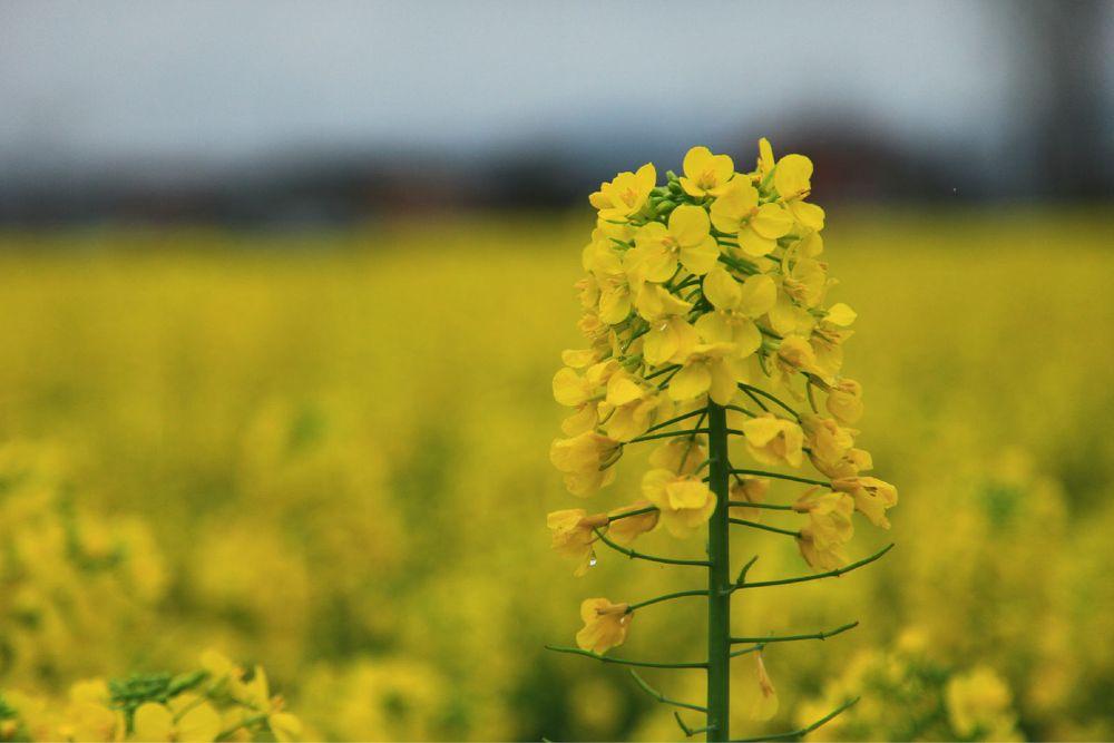 油菜花:关于油菜花的信息