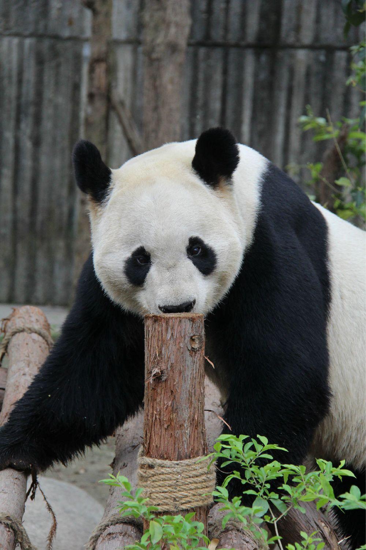 大熊猫图片