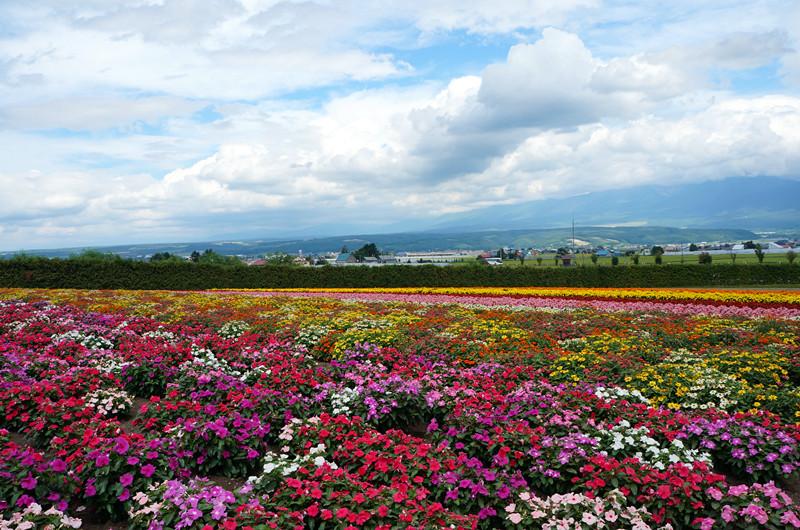 壁纸 成片种植 风景 花 植物 种植基地 桌面 800_530