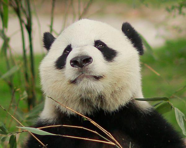 壁纸 大熊猫 动物 600_478