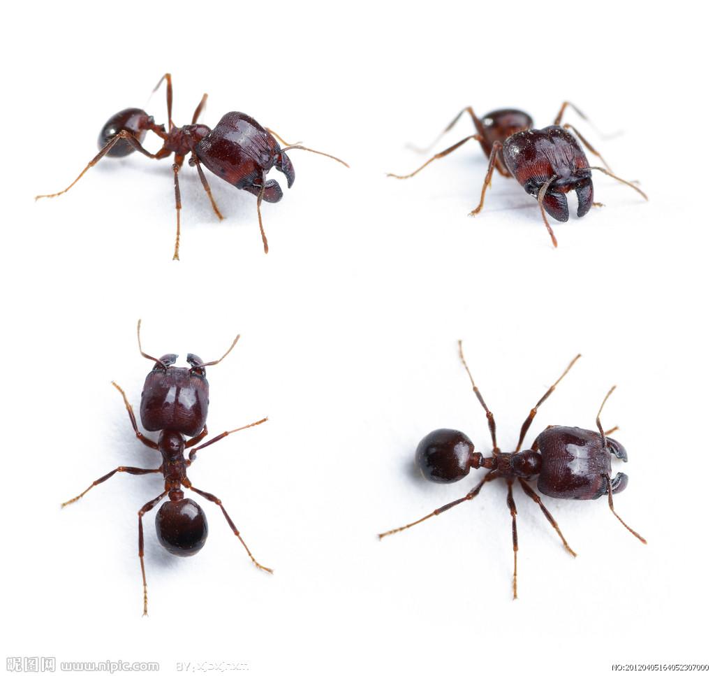 一种类似蚂蚁的虫子咬在身上像打针一样,是什么虫子