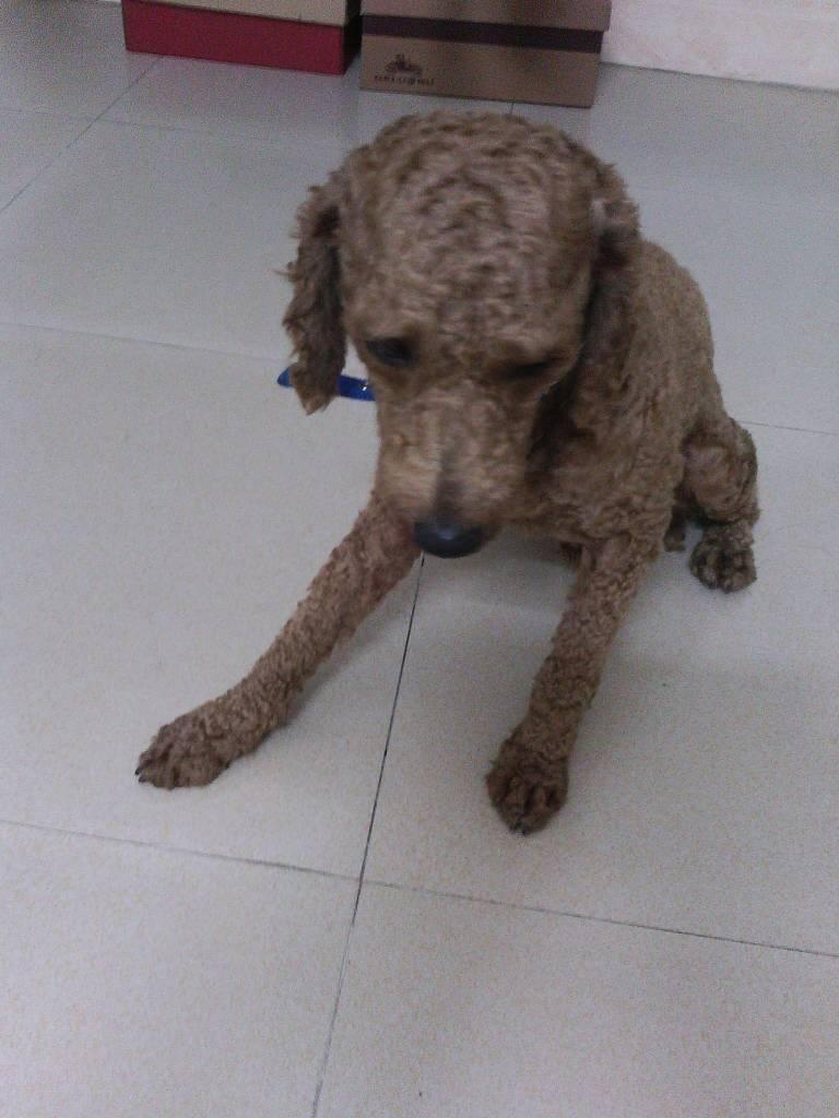 我这个小宠物狗叫什么品种?