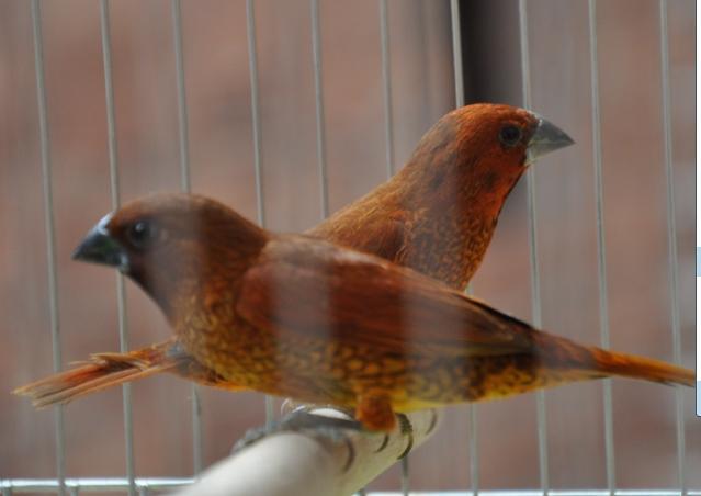 请问这是什么鸟,怎样分公母,怎样饲养?