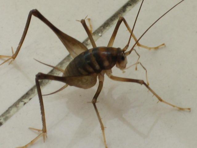 长腿昆虫,像蟋蟀 无翅膀