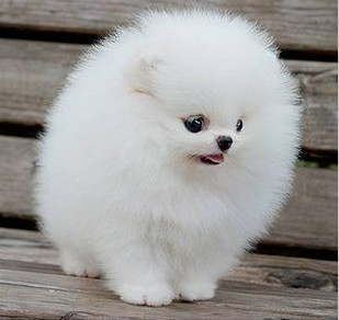 这是什么狗啊?买狗的说是珍珠狗
