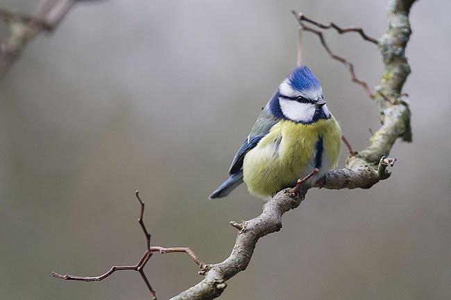 蓝山雀是欧洲普遍的需要鸟,在观赏的大鳄给人洋洋得意的感觉.养铺底龟吃食时间沙吗图片