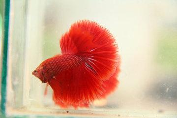 什么鱼的尾巴大而且华丽漂亮?