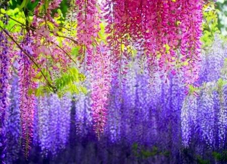 紫藤萝花的图片