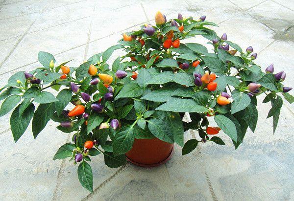 有一种植物接的果实五颜六色像辣椒 求图片图片