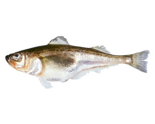 如图     毛齿鱼科     trichodontidae      叉牙鱼属     arcto