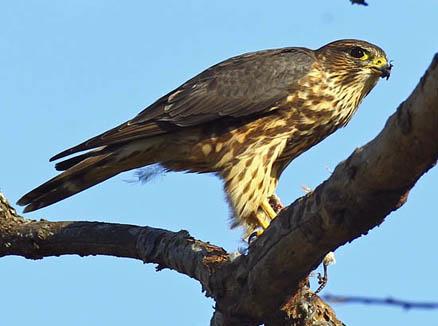 隼宝种子_这是什么种类的鹰或隼?