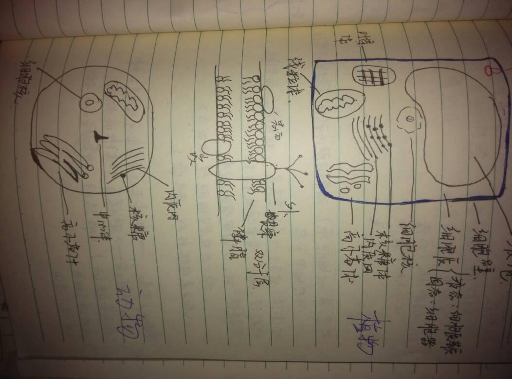 植物细胞,动物细胞的图片,求大神画图