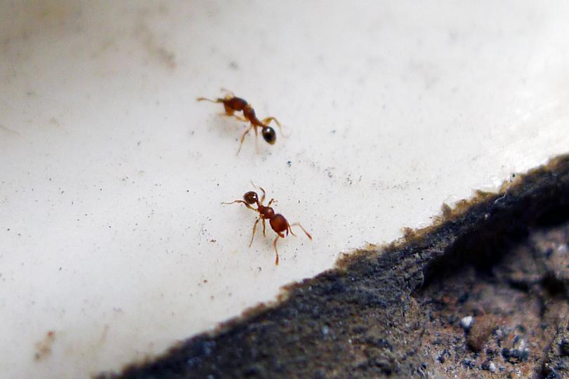 家里有一种蚂蚁,平时在墙缝或墙砖缝里筑窝,喜欢咬人,剧痛,还会起