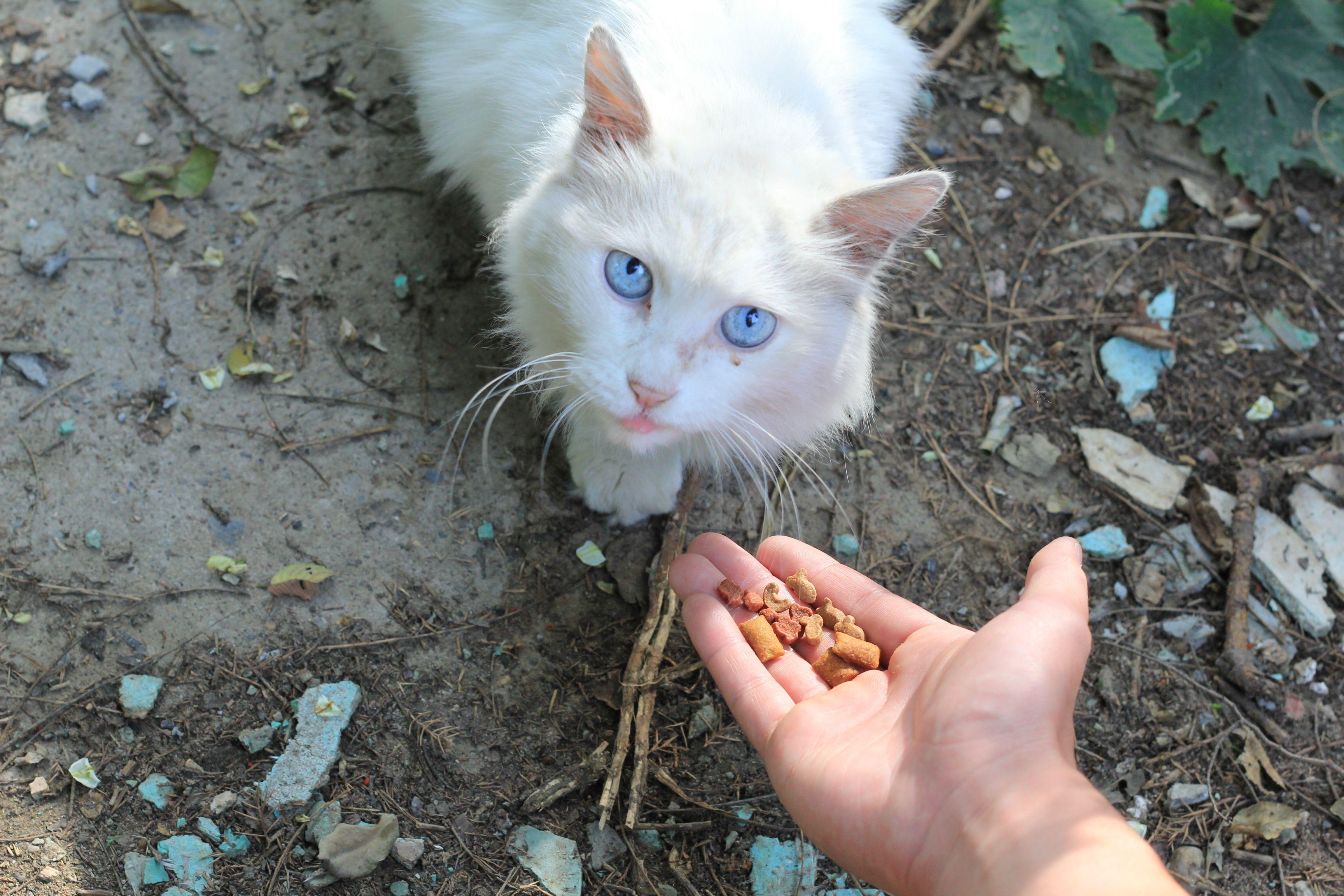 求一只蓝眼白猫的品种