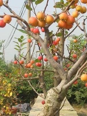 果树嫁接的优势