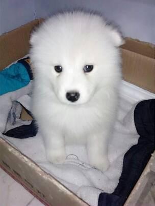 帮忙 看下 我这三个来月得 狗狗 是不是萨摩给银虎串的