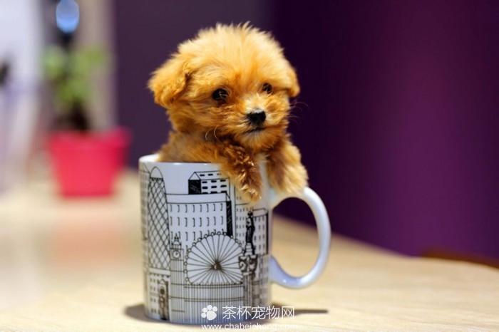 茶杯犬的图片