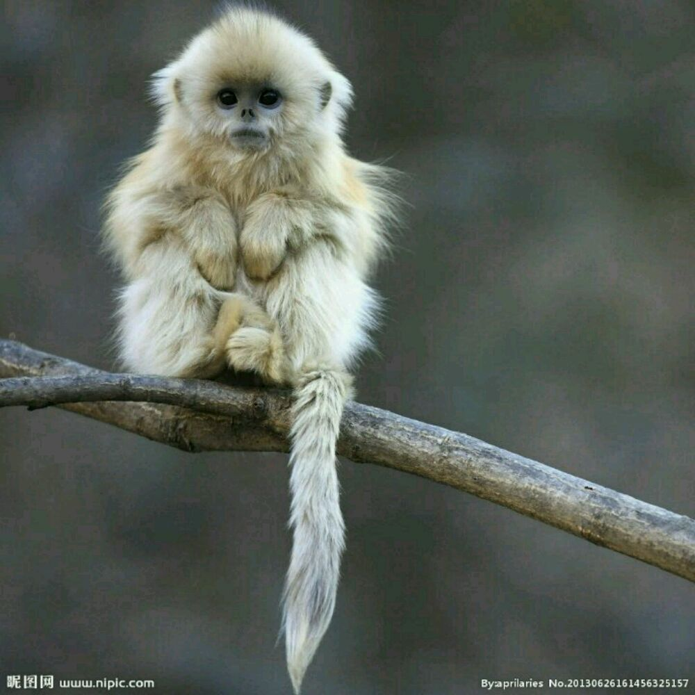 这是什么品种的猴子