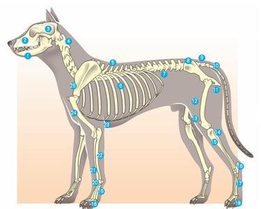 狼的身体结构解剖图(艺用)