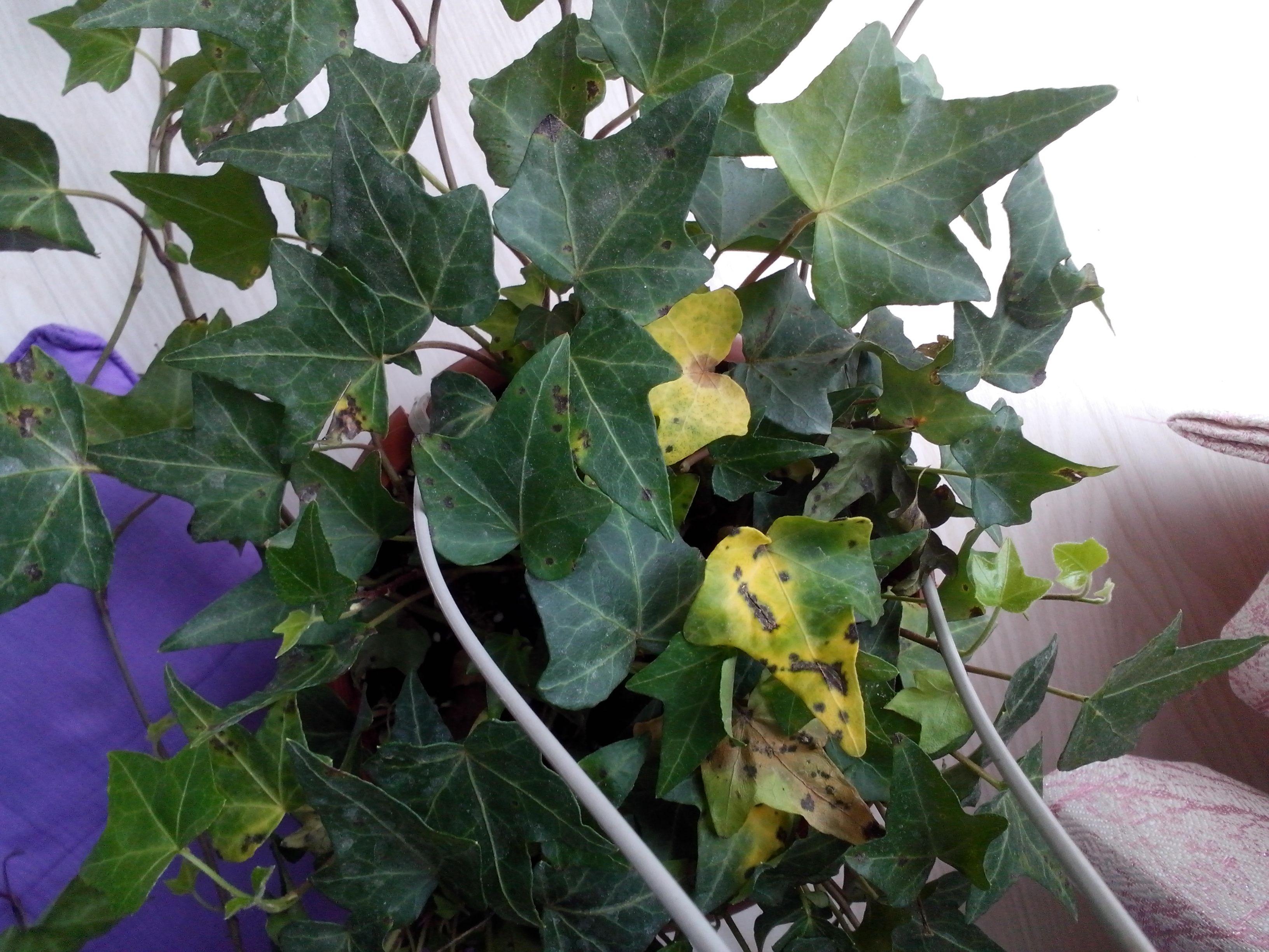 我家的常青藤 叶子发黄,还有黑色斑点是怎么回事?