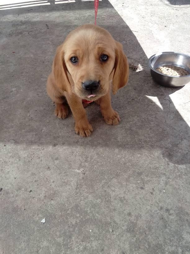 请问这是什么狗,是不是拉布拉多
