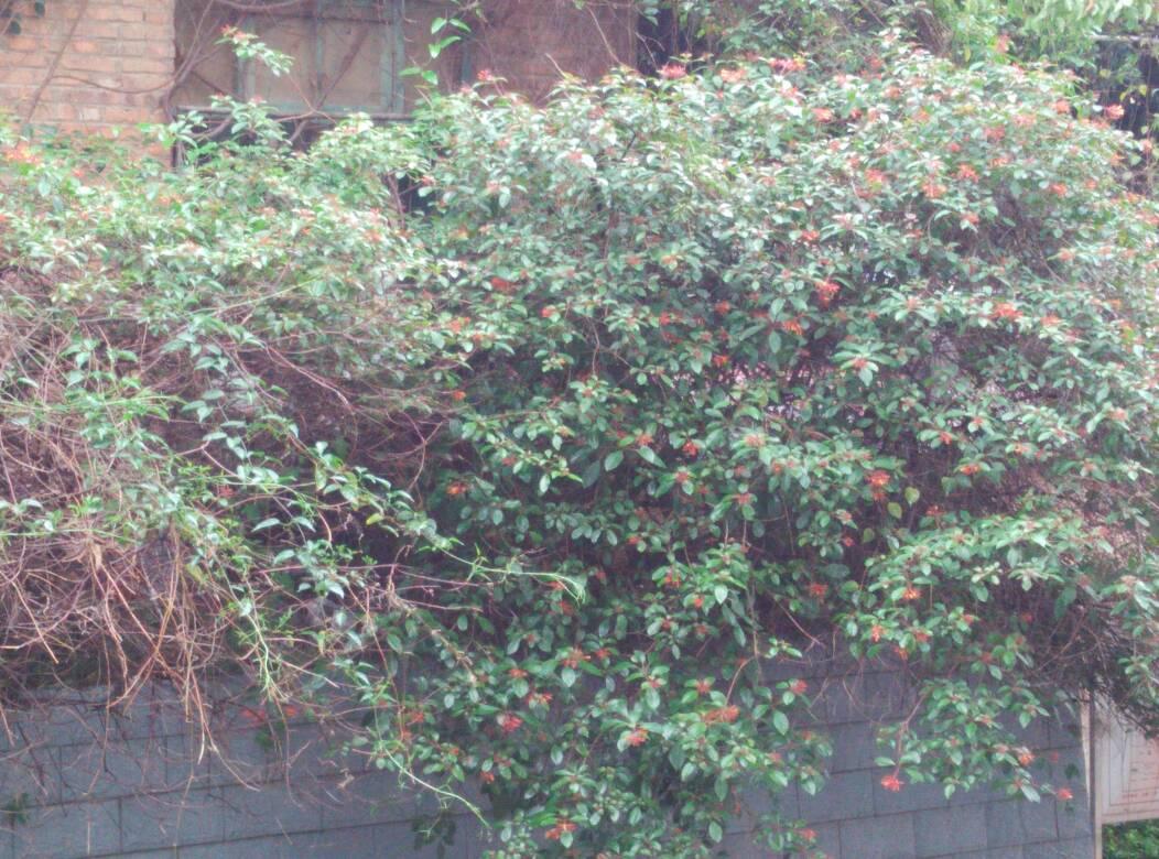 藤本,正开着红花,是什么植物?