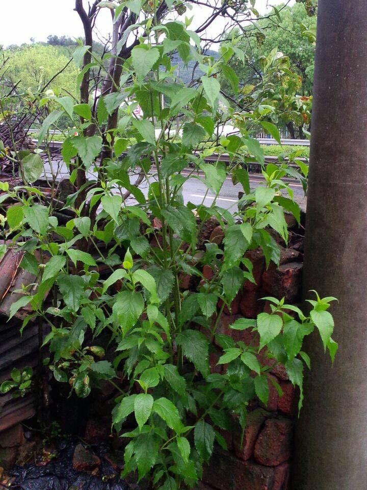 这是什么植物,叶对生单株直立,开球形白花的