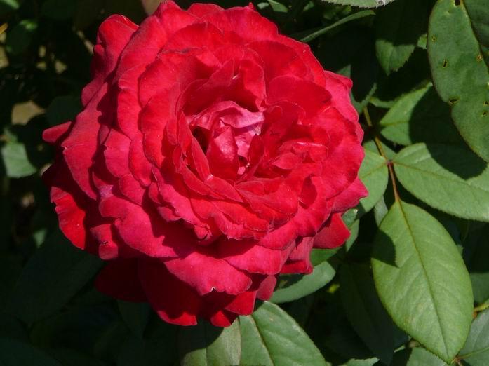 鉴别月季花品种