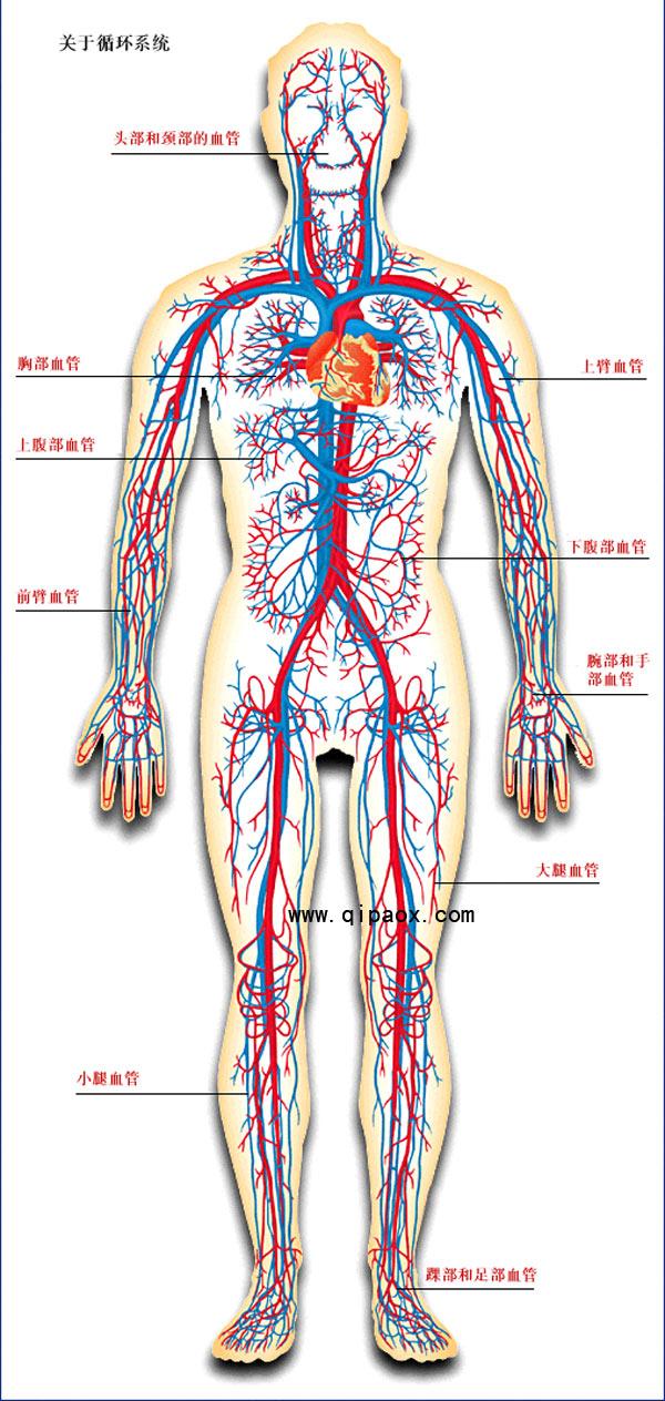 人体血分布图_请问,人体内的动脉和静脉血管的大致分布位置