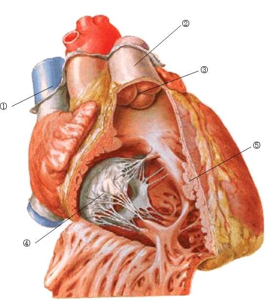 注意观察下图(右半心内部结构)的解剖结构,把有数字标注部分的名称写