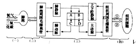 12.下图为人体血液循环过程模式图,据图回答图片