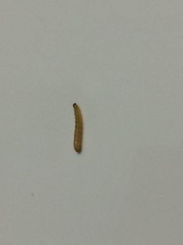 无虫木丰_如图,最近经常发现厨房瓷砖上爬的这种虫子,很小,白色