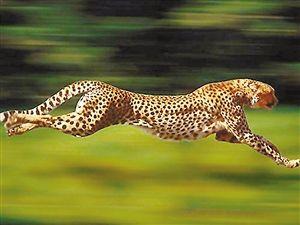 猎豹最快的速度是多少