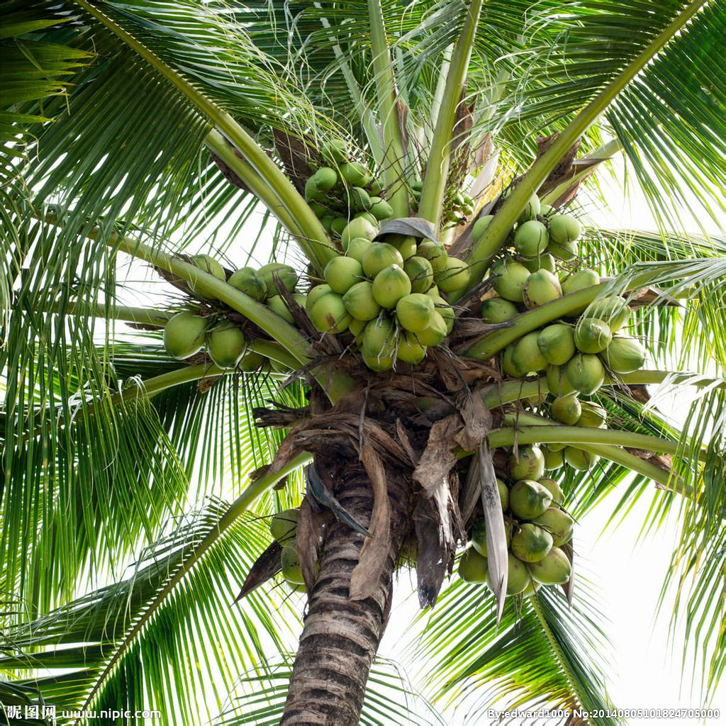 椰子的原产地是哪里?