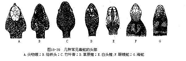 毒蛇的模样如上下几图,颜色也分外鲜艳,头部则形状都很特别.
