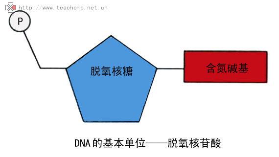 基因片段结构图
