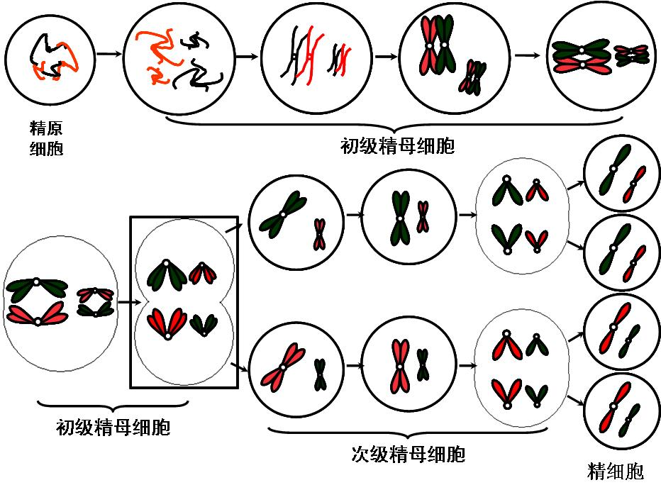 细胞有丝分裂和减数分裂图像对比