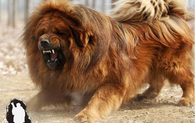 藏獒vs狮子_不然斗狗届早就用藏獒了 至于说藏獒带到动物园对着狮子叫……你可以