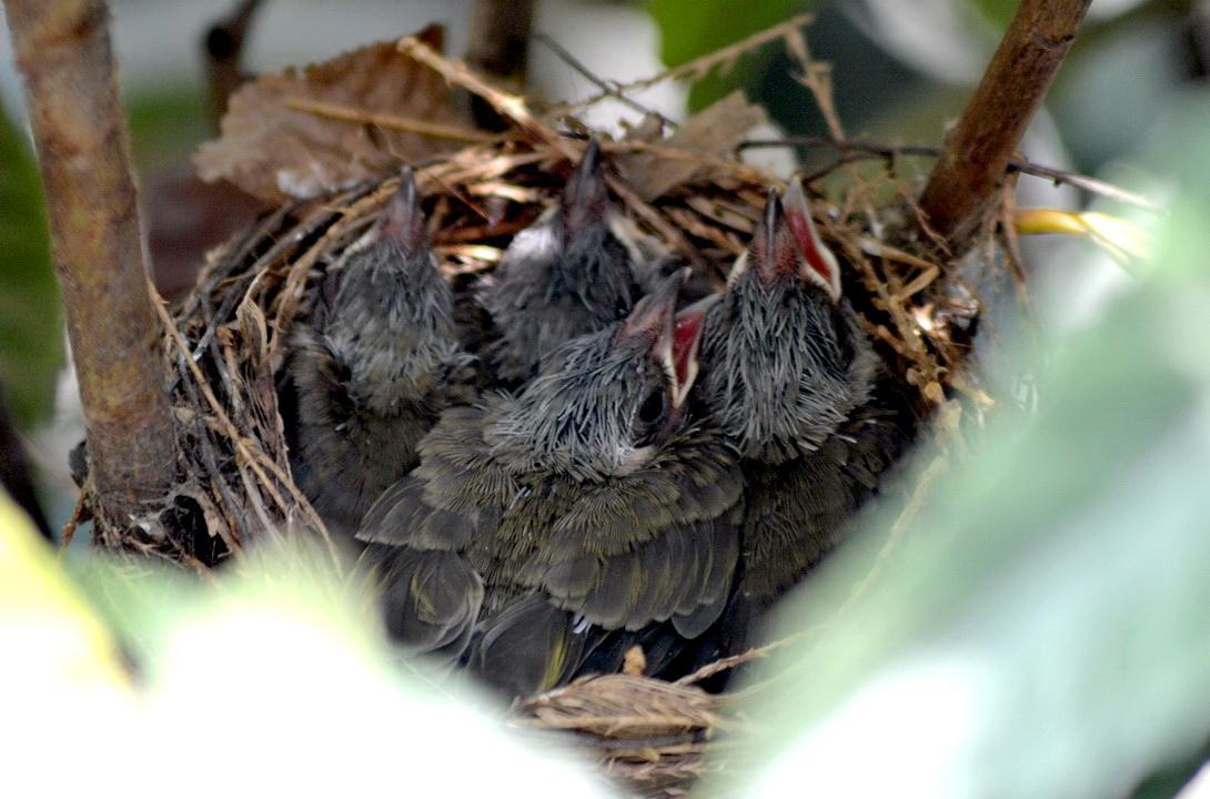 白头鹎雏鸟 白头鹎是杂食性鸟类,既食植物性物质,也食动物性物质