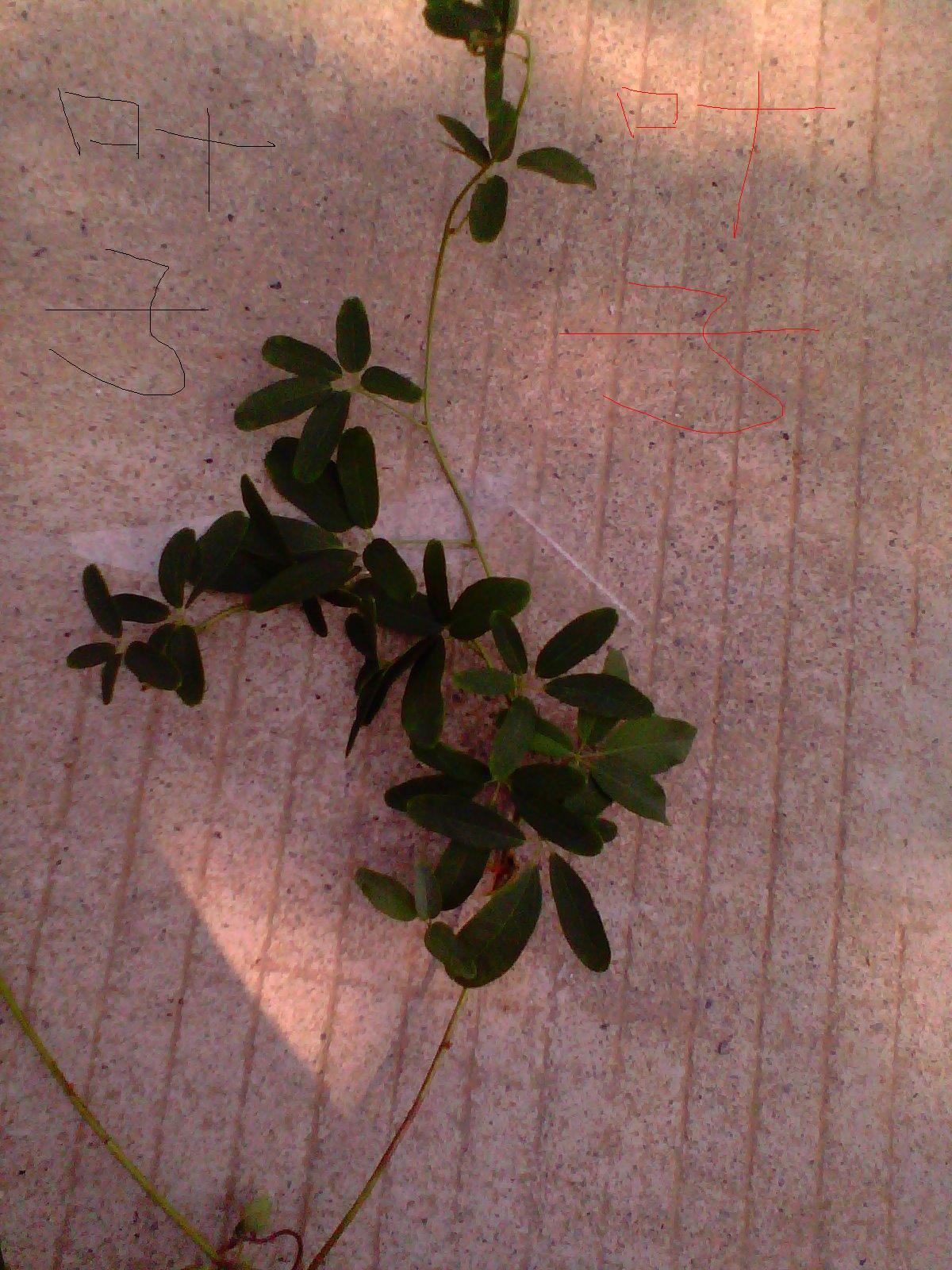 这是什么藤类植物图片?