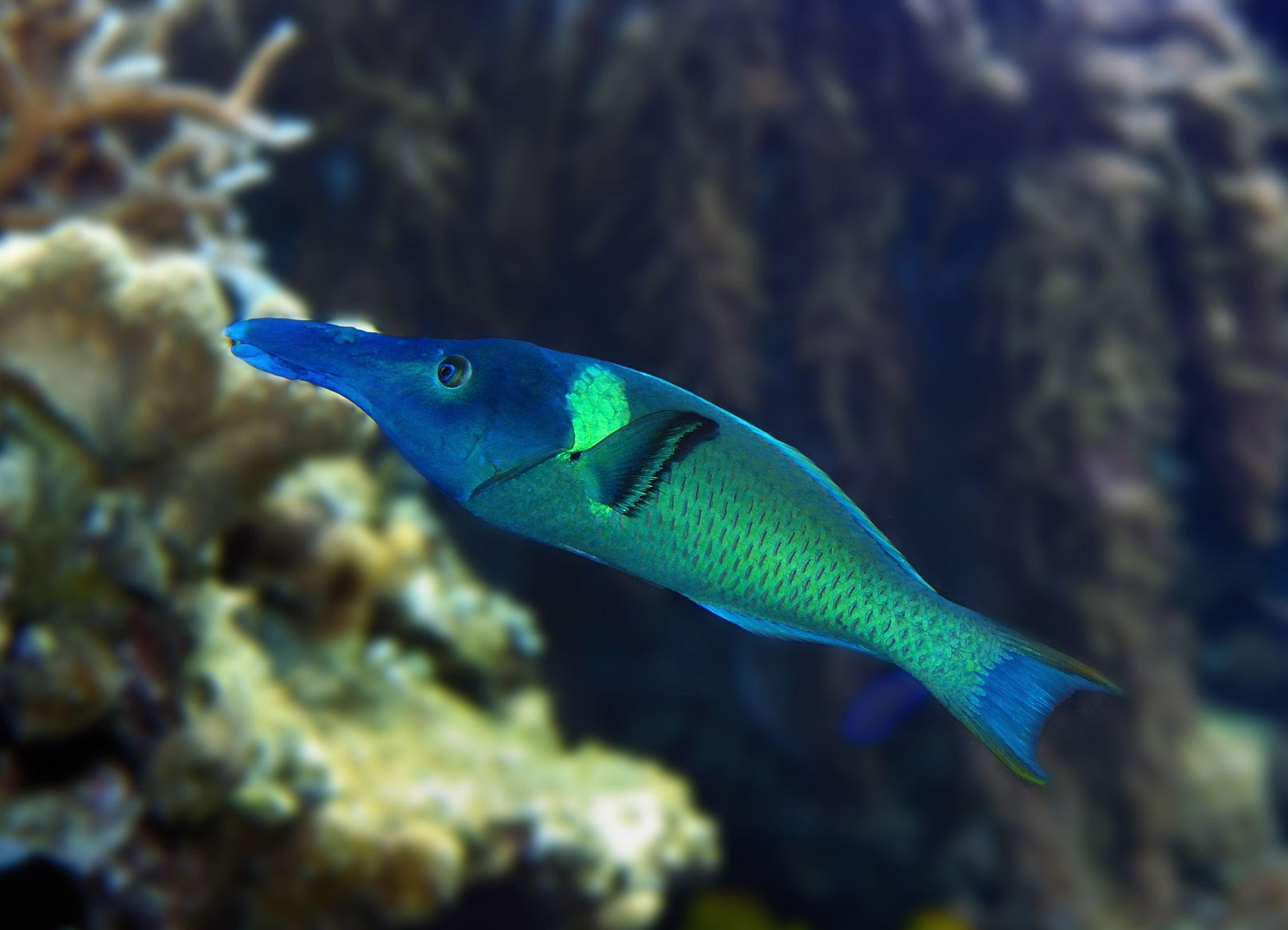 www2233pgom_如图 ,应为   隆头鱼科      labridae        尖嘴鱼属    gomphos