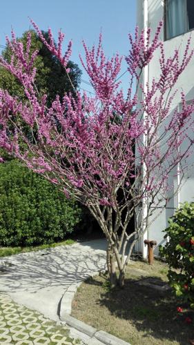 什么树开的花朵是紫色的,而且是春天开的