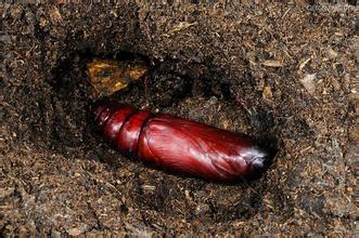 无虫木丰_这是什么虫蛹