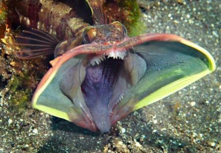 ??_煙管鳚科  (旗鳚科)chaenopsidae        新熱鳚屬     neoclinus