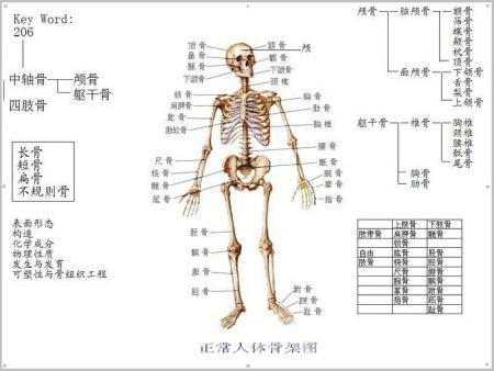 人体背面解剖图
