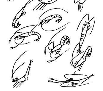 虾的简笔画矢量图